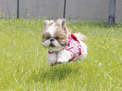 シーズーの飛行犬写真