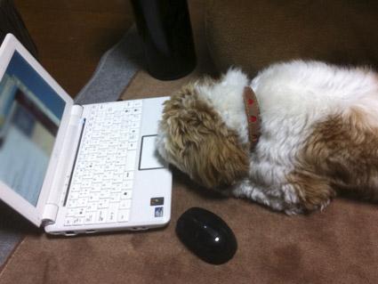 パソコン練習するシーズー犬ぽんず