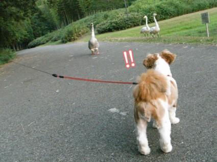 白鳥と遭遇!