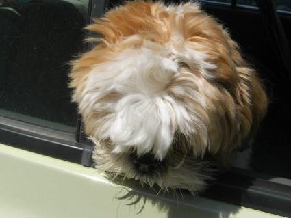 シーズー犬トリミング