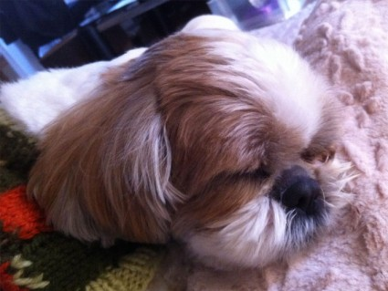 シーズー犬の「うぶげ」