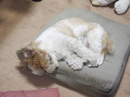 ウサギみたいに寝てるシーズー犬