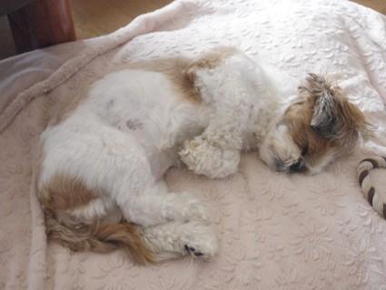 シーズー犬、ぽんず寝顔