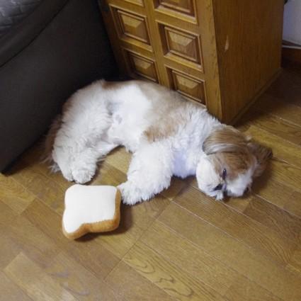 薄目を開けて寝ているシーズー犬ぽんず