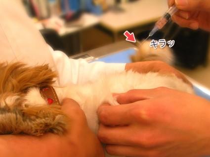 シーズー犬ぽんず、混合ワクチン(9種)打ってきました。