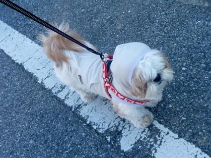 シーズー犬「ぽんず」とウォーキング