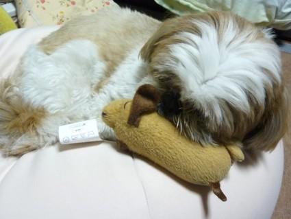 ぬいぐるみと寝るシーズー犬ぽんず