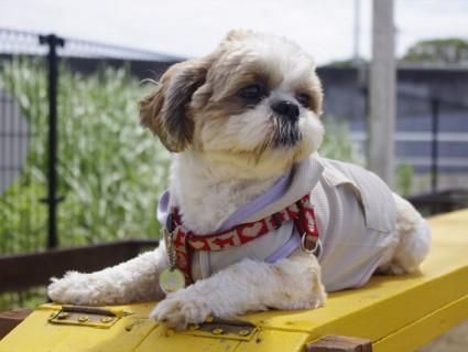 ドッグランで遊ぶシーズー犬ぽんず