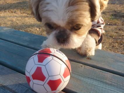 勝手に動くボールで遊ぶ、シーズー犬「ぽんず」