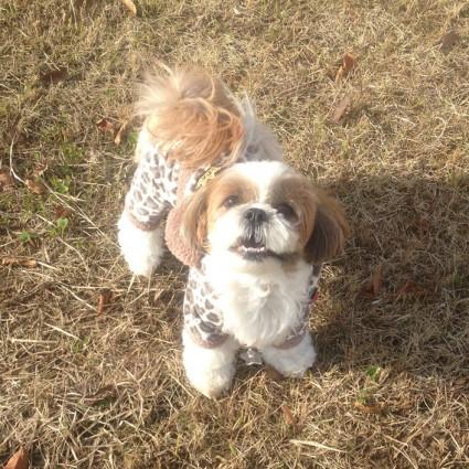 公園で散歩するシーズー犬