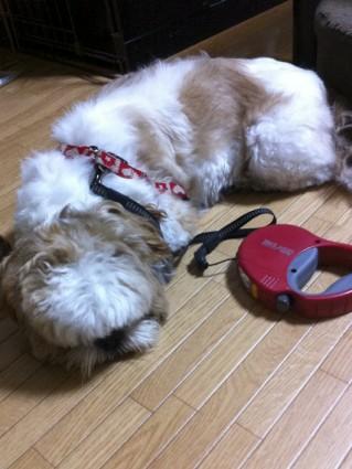 シーズー犬と夜散歩
