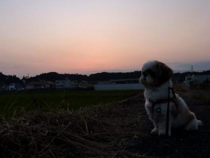 シーズー犬と夕散歩