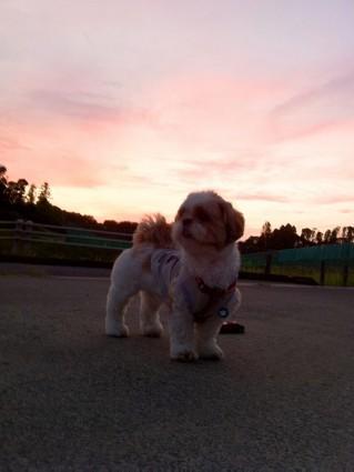 シーズーと夕日
