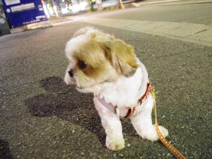 シーズー犬、ぽんずの夜散歩