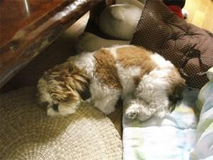 丸まって寝るシーズー子犬ぽんず