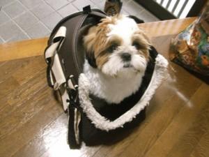 キャリーバッグに入るシーズー犬ぽんず