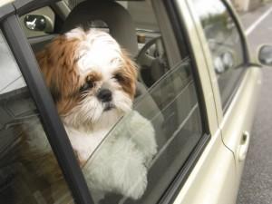 車窓から覗くシーズー犬ぽんず