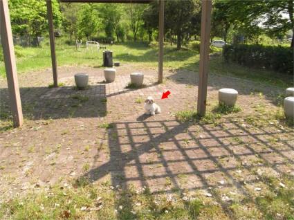 公園で遊ぶシーズー犬「ぽんず」1