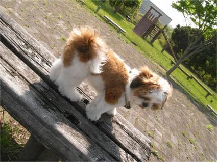 ベンチで休憩するシーズー犬、ぽんず