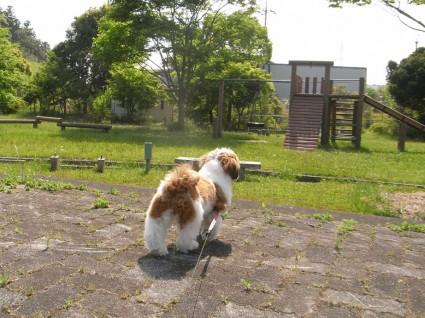 公園で遊ぶシーズー犬「ぽんず」2