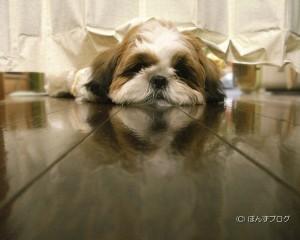 シーズー犬壁紙「ぽんずのポーズ」